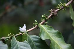 Flowering Coffee Plant