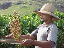 Harvesting coffee berries